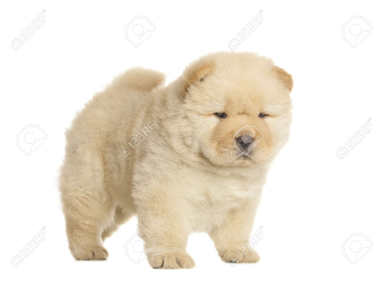 Pluizige Chow Chow Pup Geisoleerd Op Witte Achtergrond Royalty Vrije