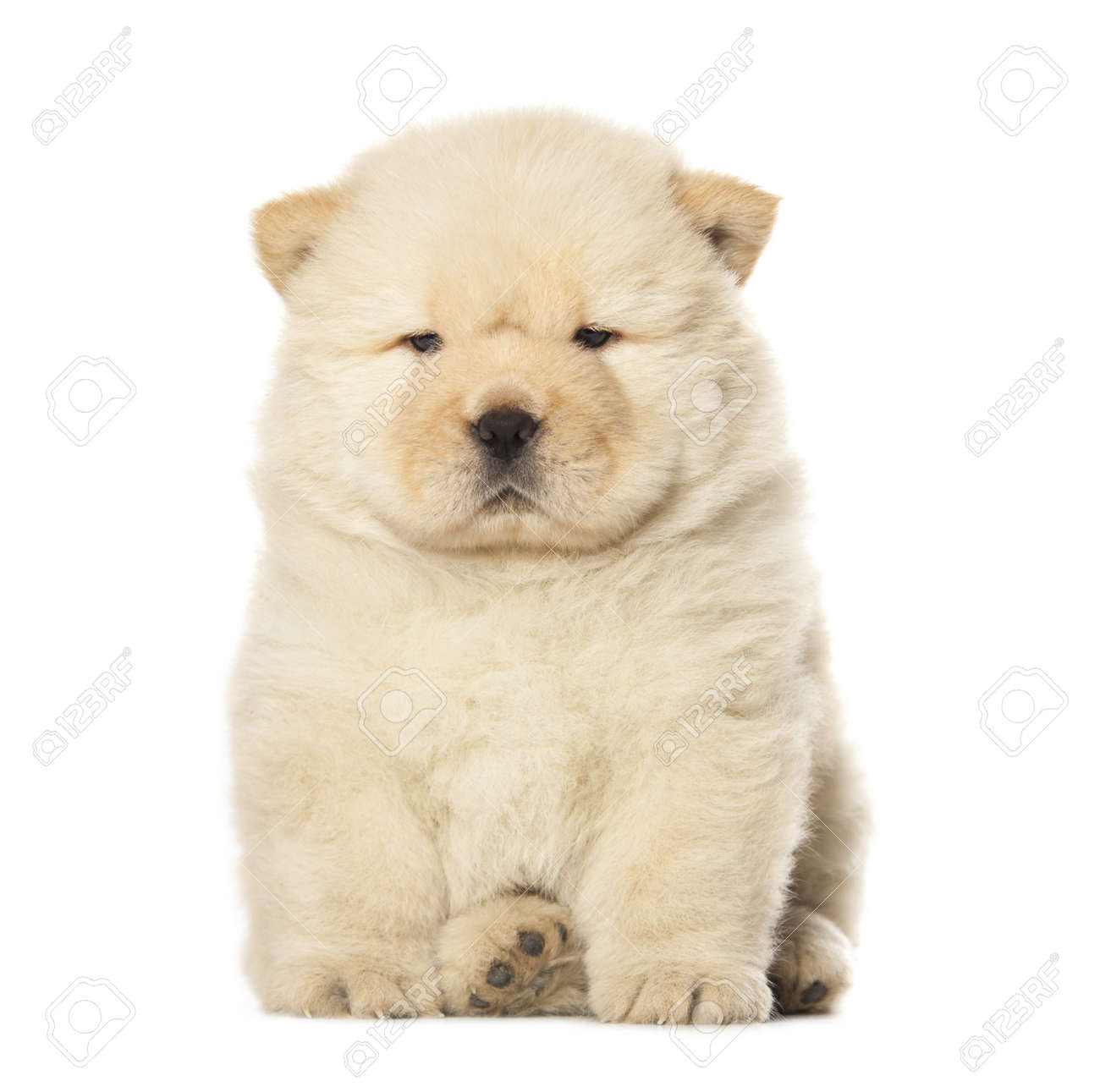 Fluffy Chow Chow Puppy Isolated Over White Background Stock Photo