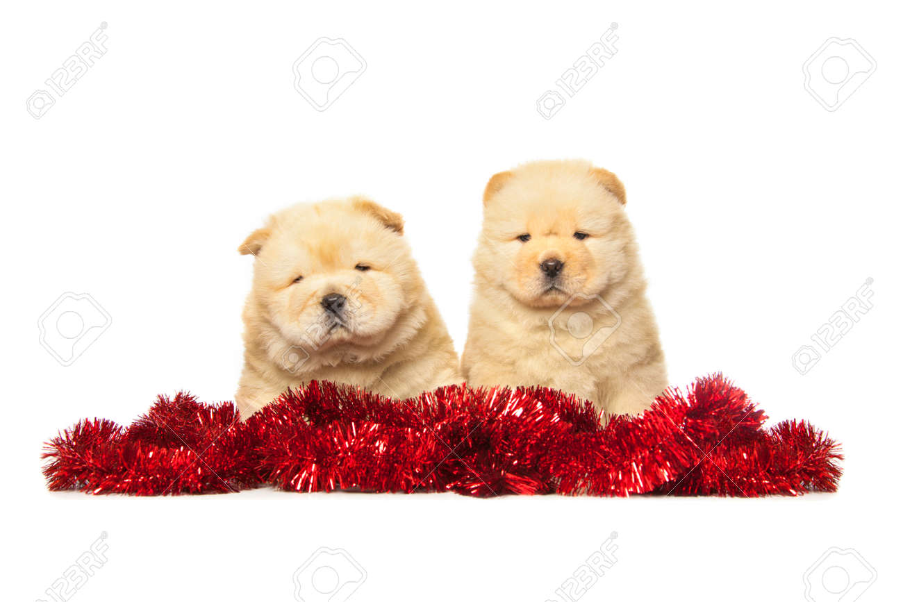 Fluffy Chow Chow Puppies Isolated Over White Background Stock Photo