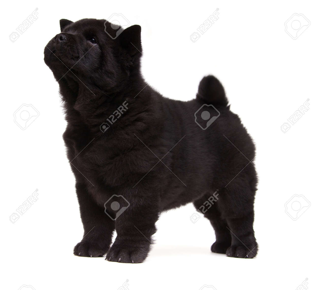 Fluffy Black Chow Chow Puppy Isolated Over White Background Stock