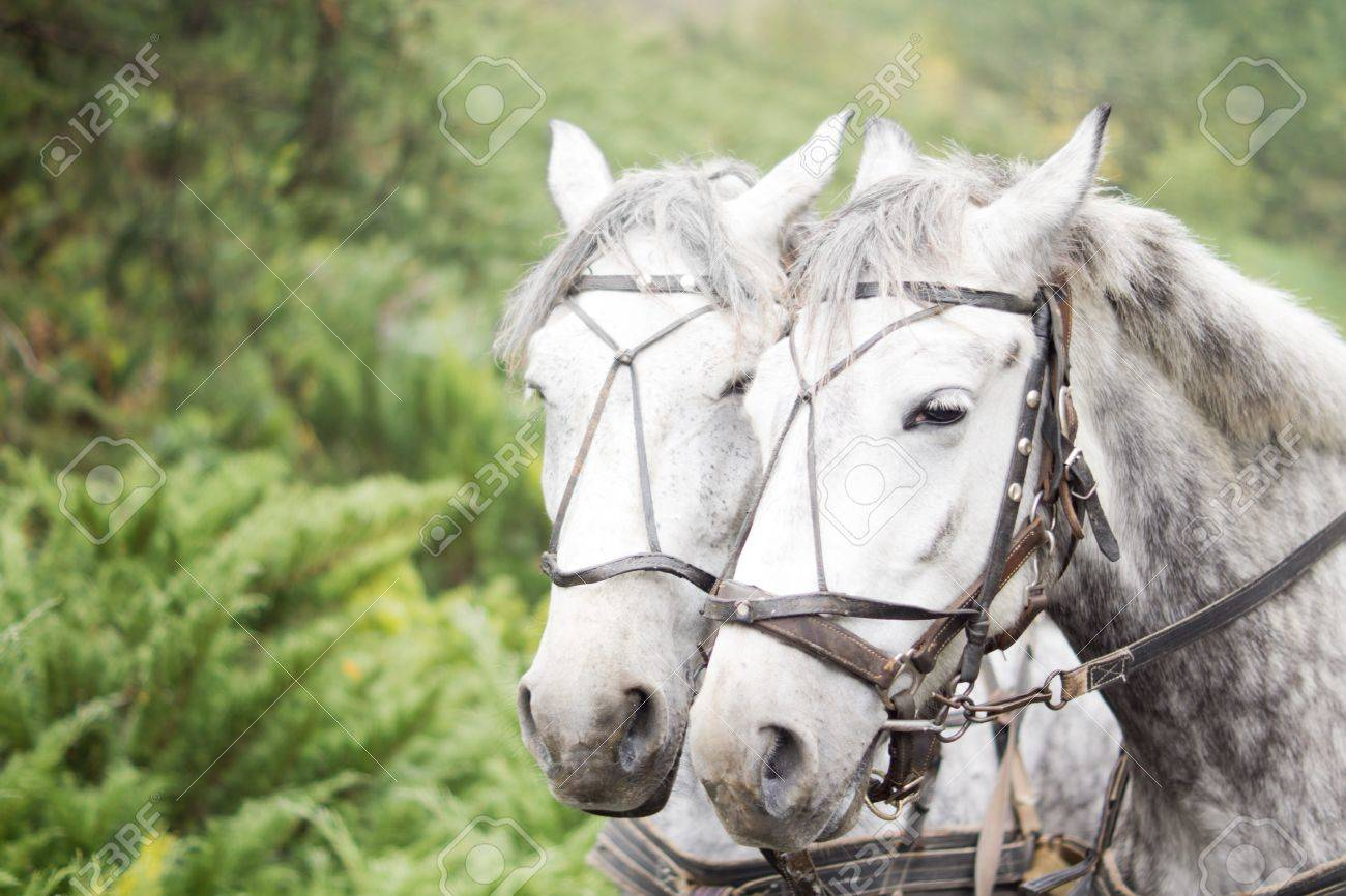 Closeup Head Portrait Of A Team Of Two Dapple Grey Horses In Stock Photo Picture And Royalty Free Image Image 15804653