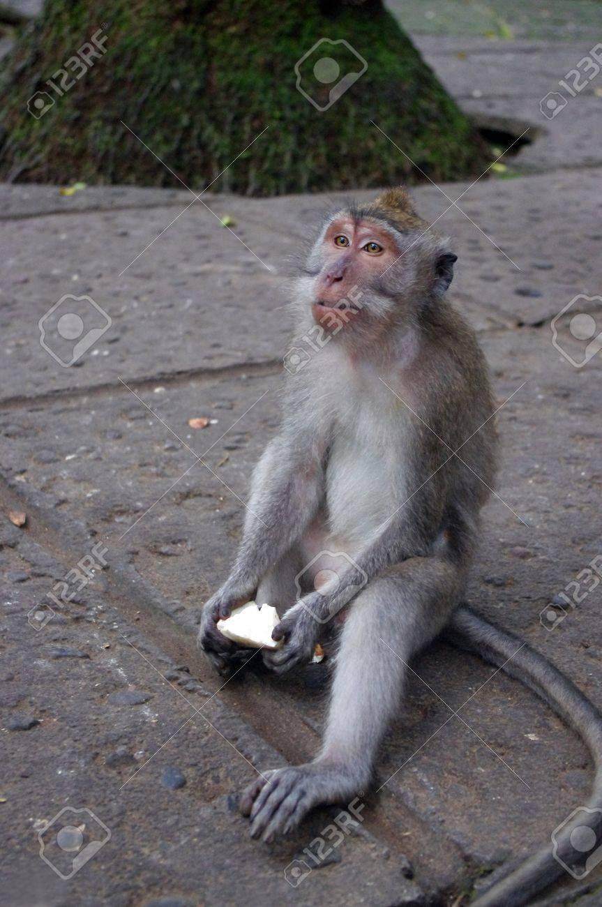 Monkey holding food in Monkey sanctuary, Ubud, Bali, Indonesia. Stock Photo - 11853341