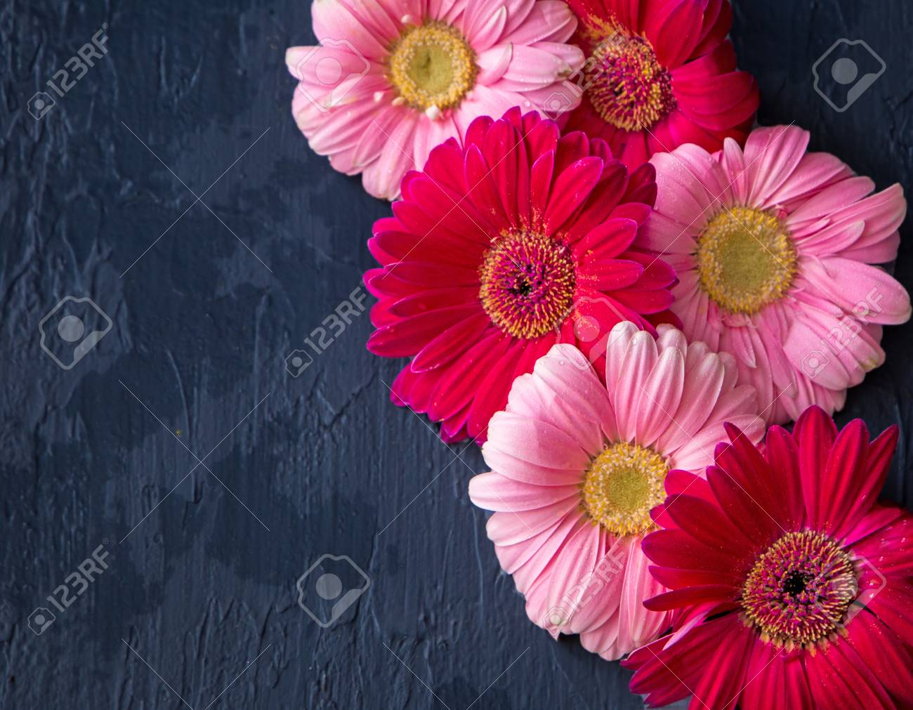 Pink And Red Gerbera Daisy Flower On Concrete Backgrounds. Spring ...