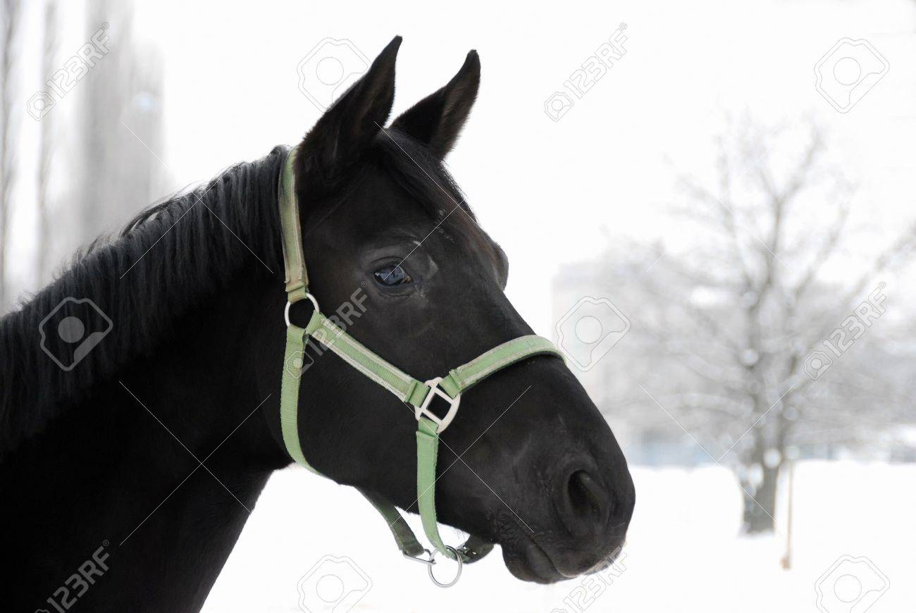 Portrait Of A Beautiful Black Horse With Winter Snow Background Stock Photo Picture And Royalty Free Image Image 2910325