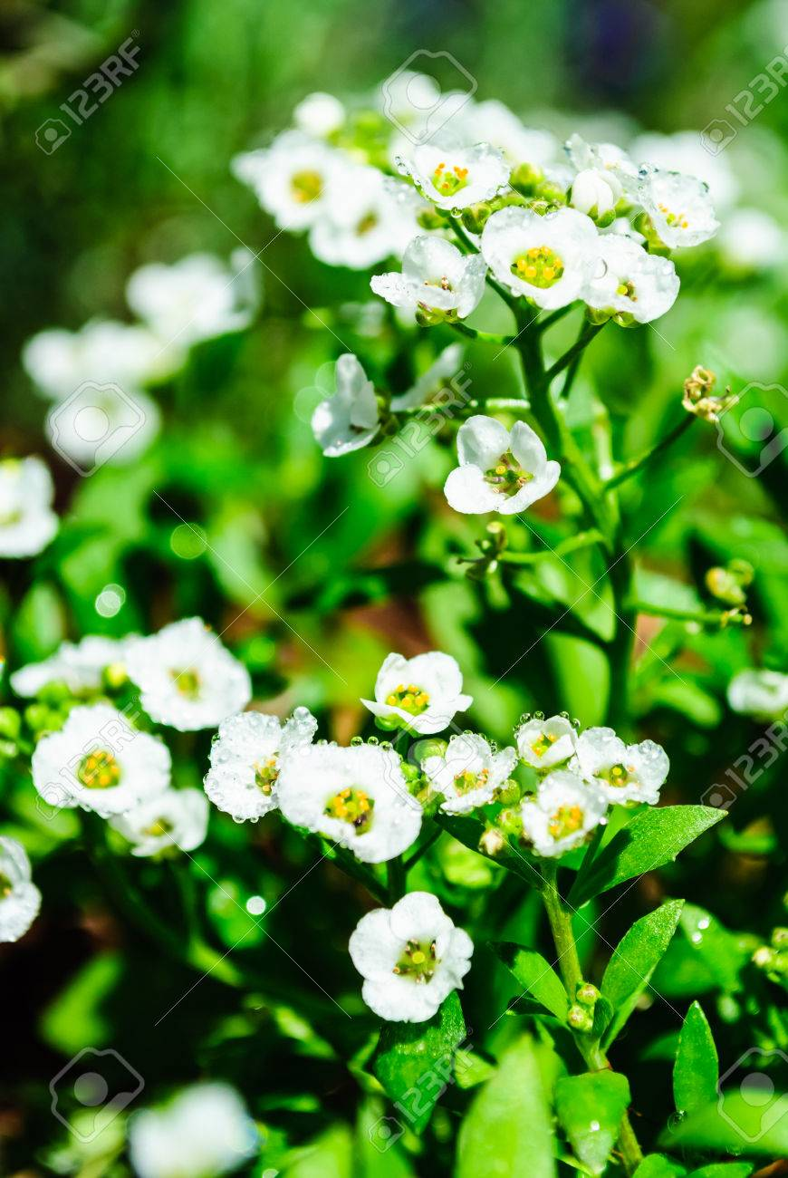 Little White Lobularia Maritima Flowers With Four Petals In A