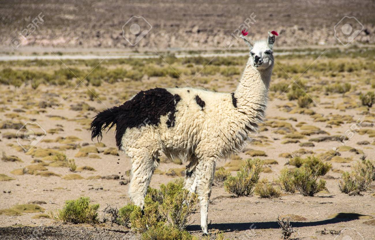 Cute Llamas Of Altiplano Bolivia South America Wild Animals Stock Photo Picture And Royalty Free Image Image 90360558