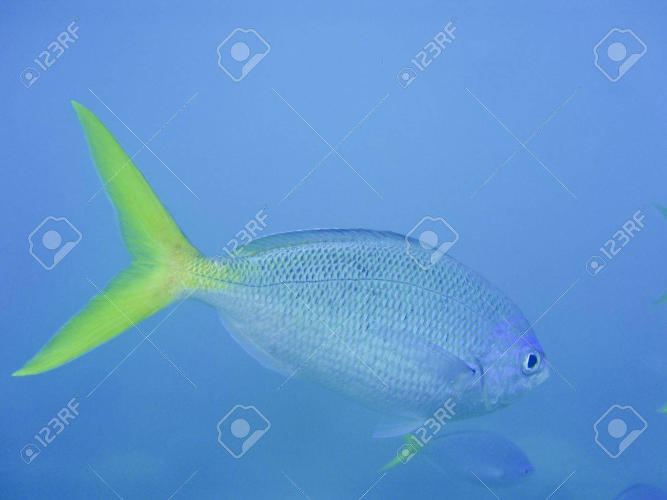 Fish with yellow fin and blue sea near Great Barrier Reef Australia  Underwater shot Stock Photo - 16658448