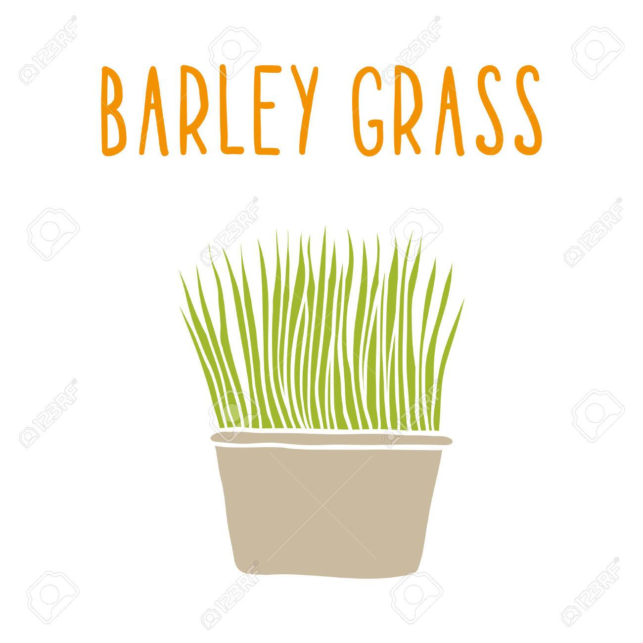 Barley grass. Vector hand drawn illustration. - 36967606