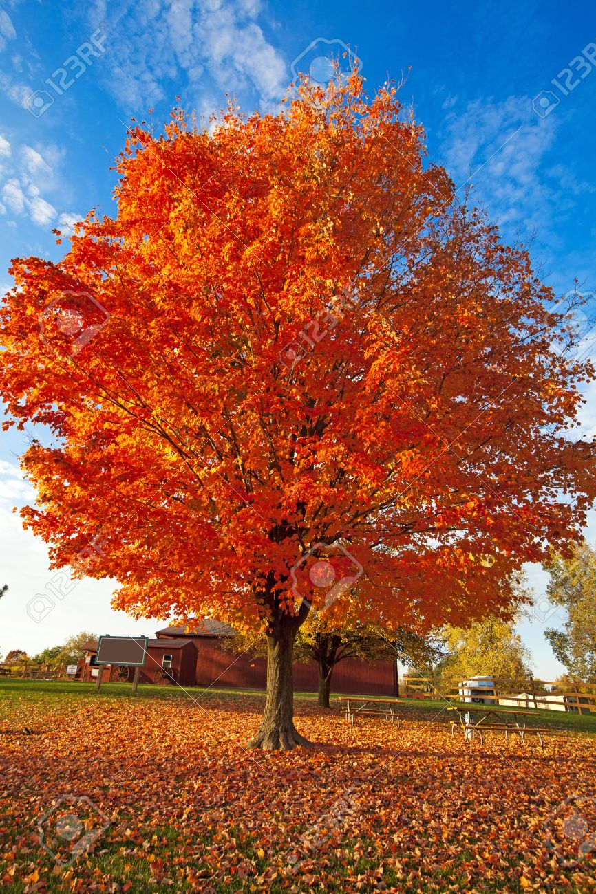 fall tree stock photo 10894713