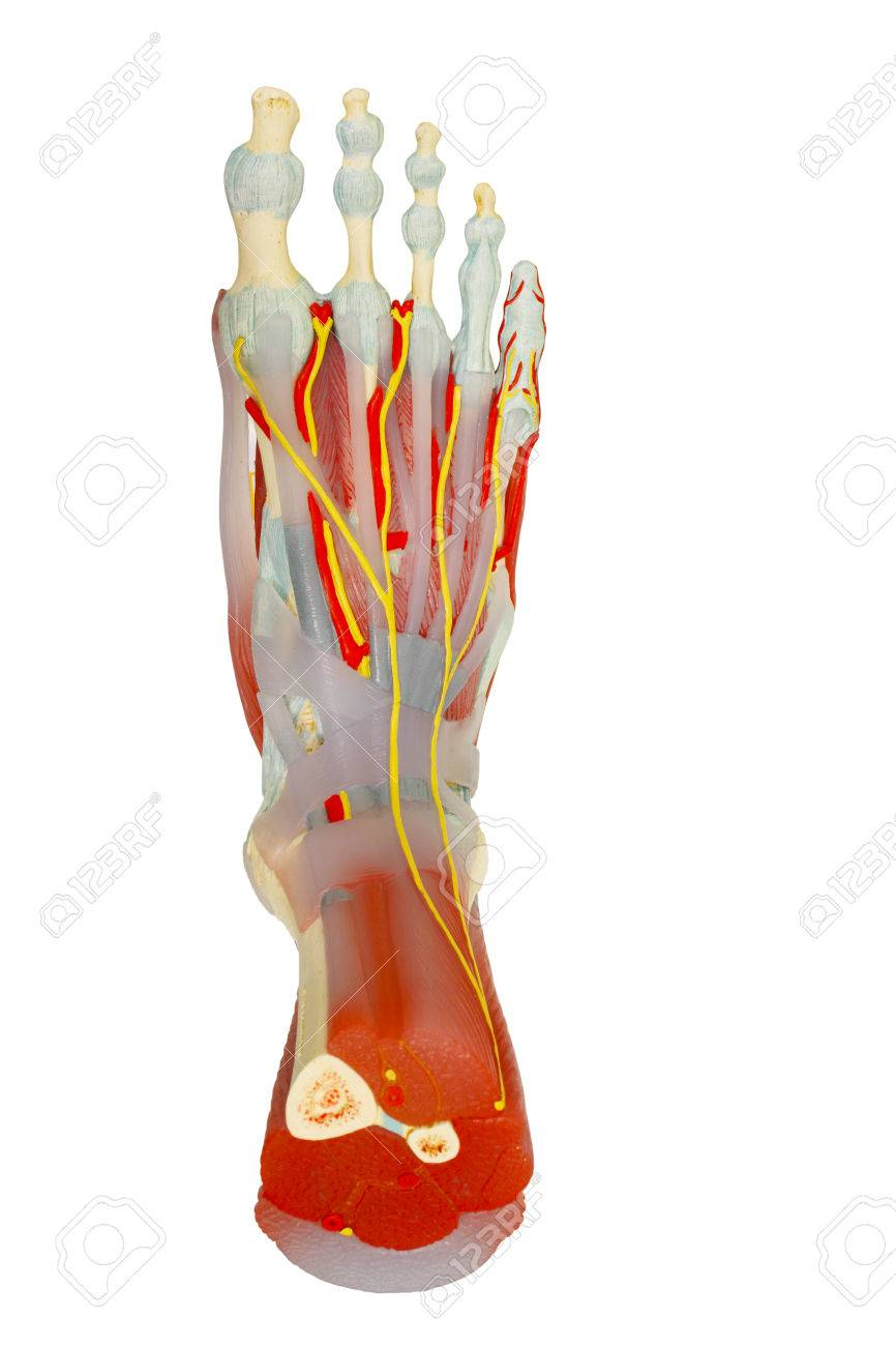 Top View Of Human Foot Muscles Anatomy Model Isolated On White ...