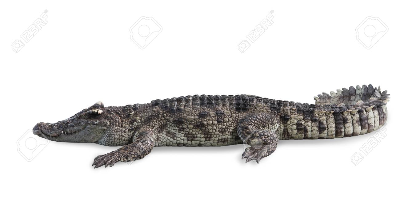 Freshwater Crocodile Isolated On White Background Clipping Path Stock Photo Picture And Royalty Free Image Image 91085745