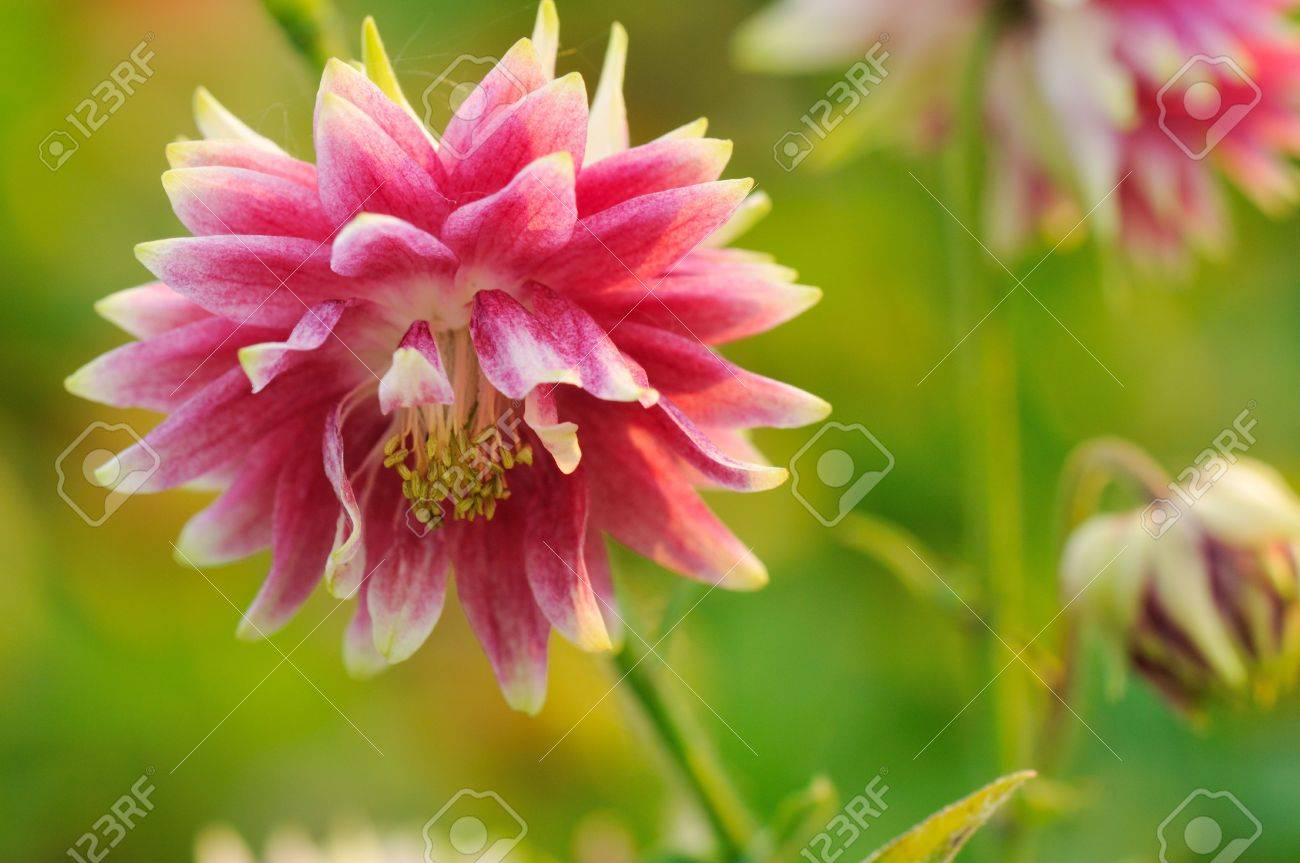 double pink columbine flowers stock photo, picture and royalty, Beautiful flower