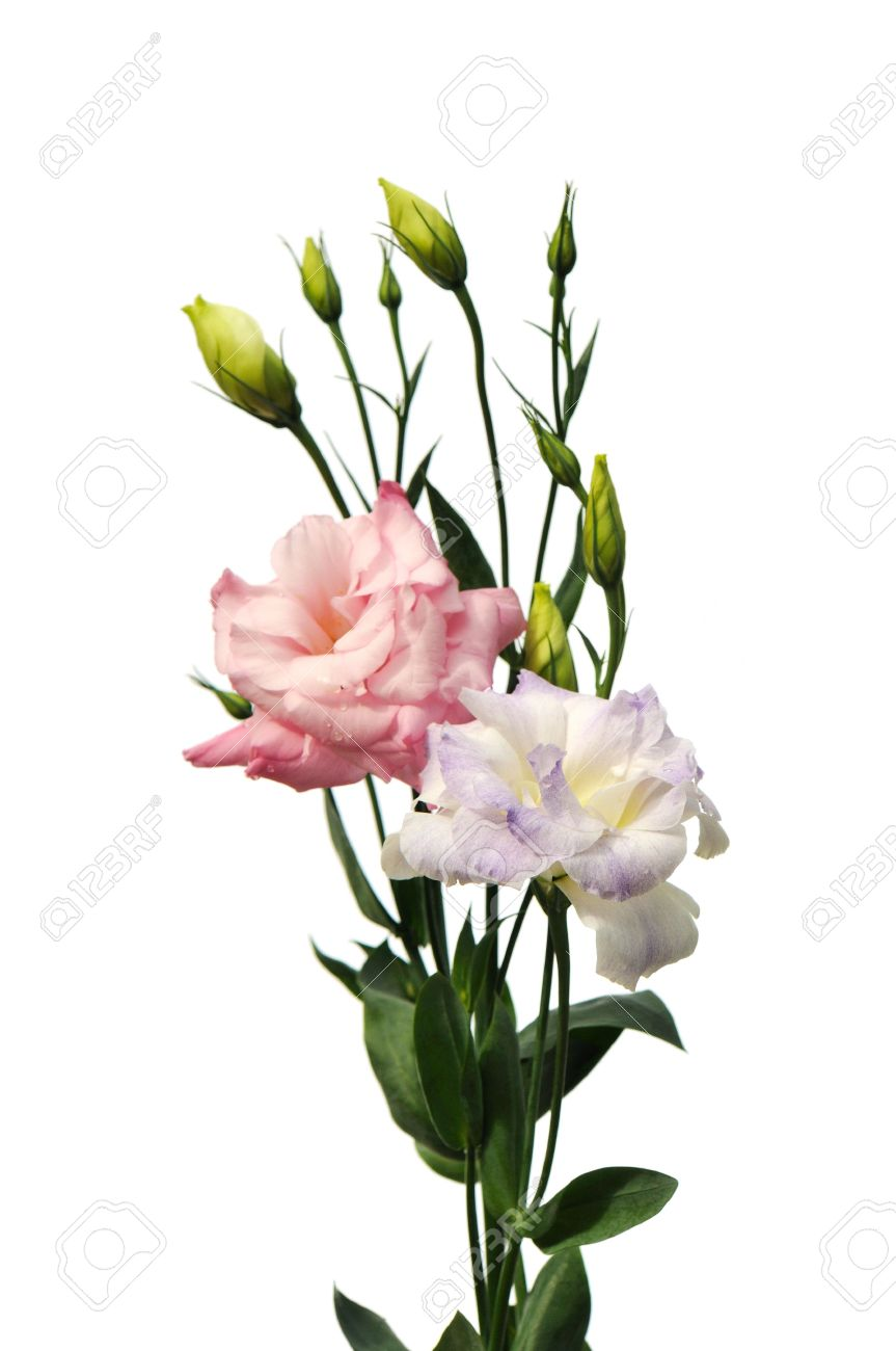 Pink and purple lisianthus flowers isolated on white background pink and purple lisianthus flowers isolated on white background stock photo 5117251 thecheapjerseys Choice Image