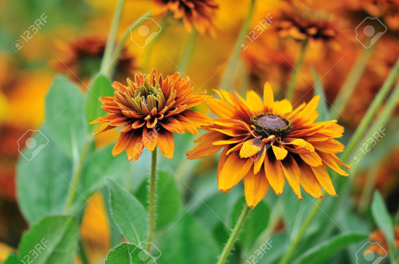 Fall Color Rudbeckia Flowers Stock Photo Picture And Royalty Free Image Image 5336398