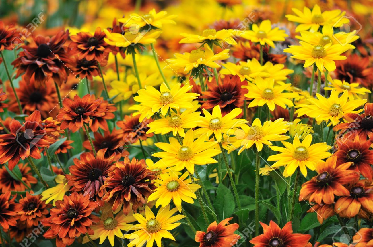 Fall Color, Rudbeckia Flowers In Autumn Garden Stock Photo   6597769