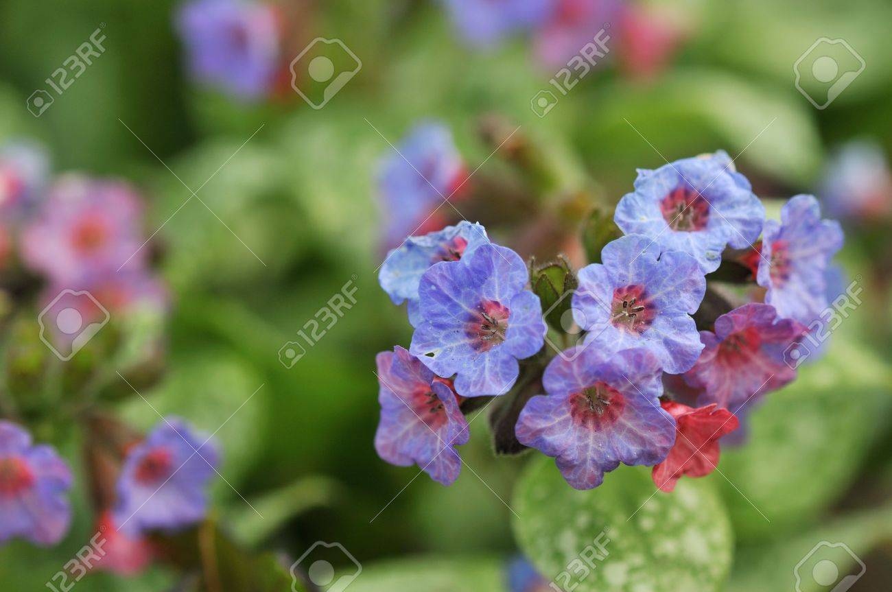 Pink And Blue Flower Lungwort Pulmonaria In Garden Stock Photo