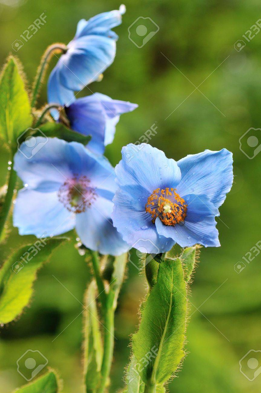 Himalayan Blue Poppy Flower In Naturalized Garden Stock Photo