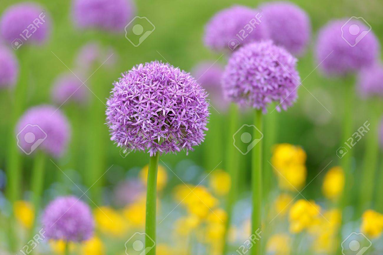 Purple Allium Flowers Field With Tiny Blue Flowers And Yellow