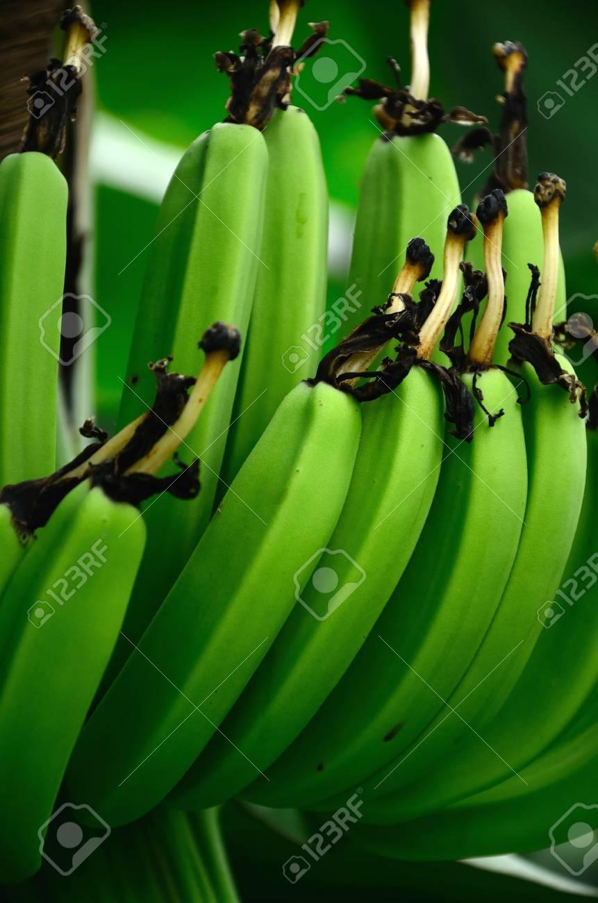 Rama De Plátano Con Unas Flores Secas Fotos, Retratos, Imágenes Y ...