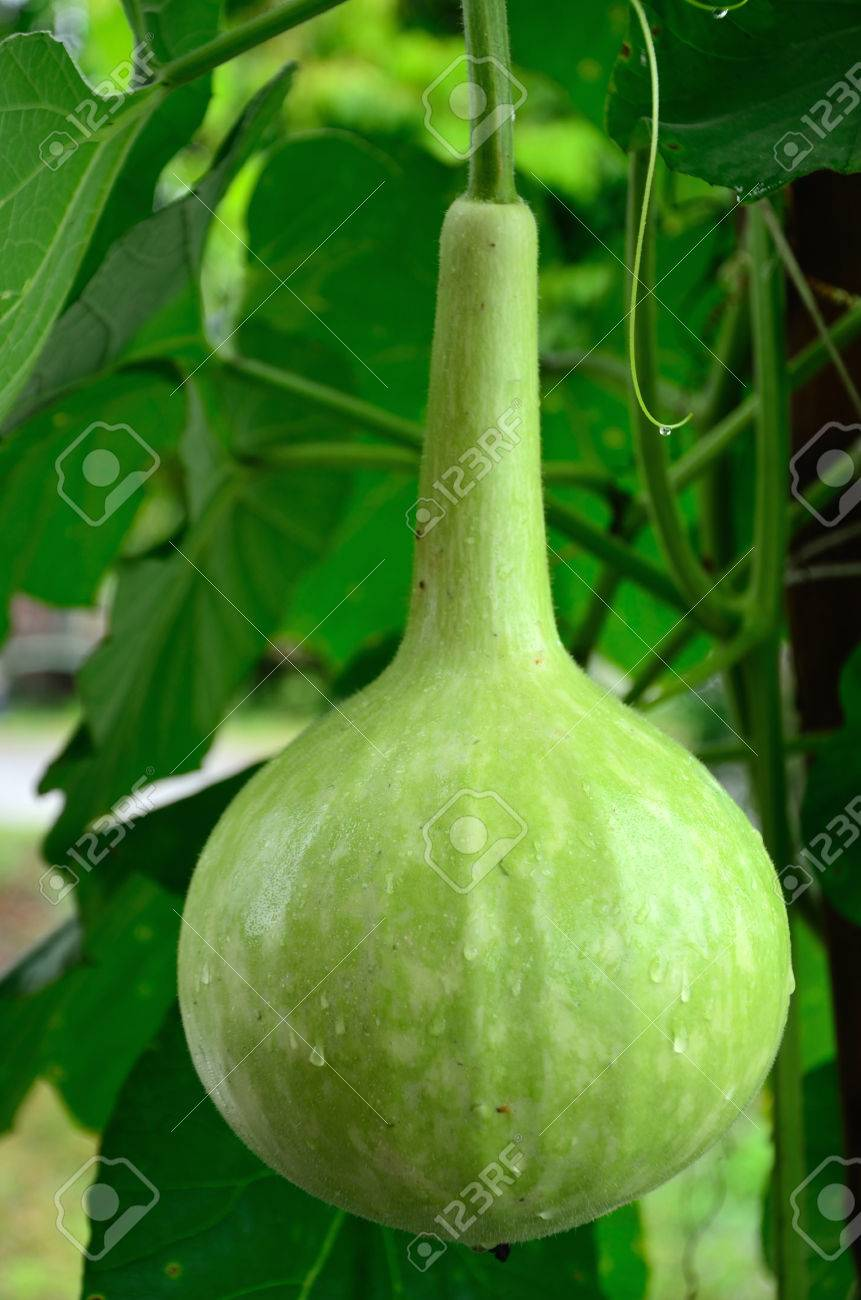 White Flower Gourdthailand Vegetable Stock Photo Picture And