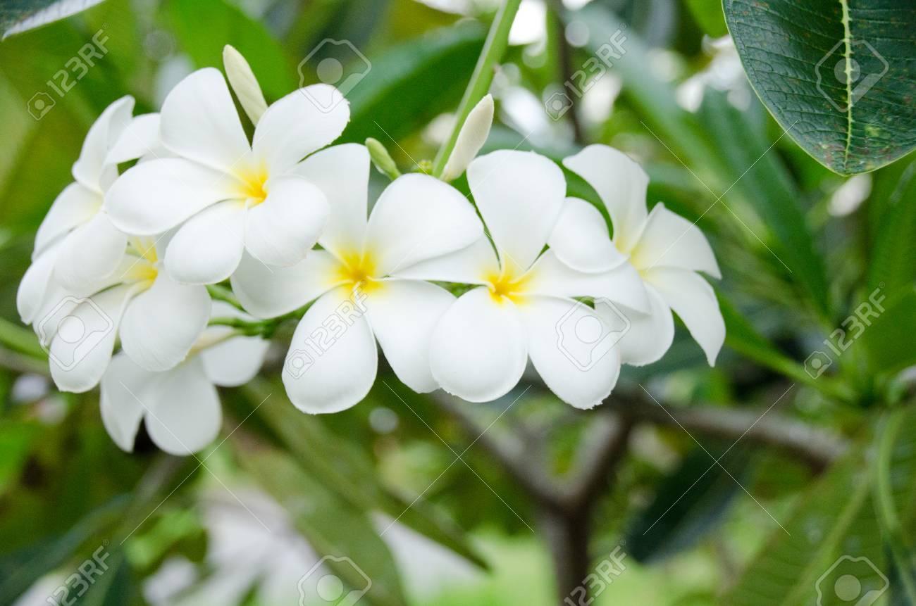 Group Of Yellow White Flowers Of Frangipani Plumeria Templetree