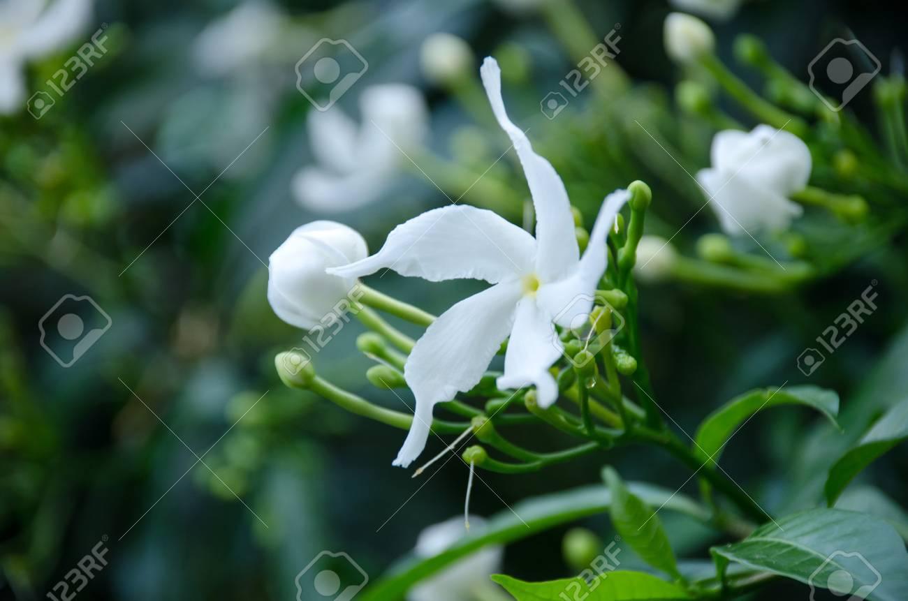 Close Up Of White Gerdenia Crape Jasmine Flower Gardenia