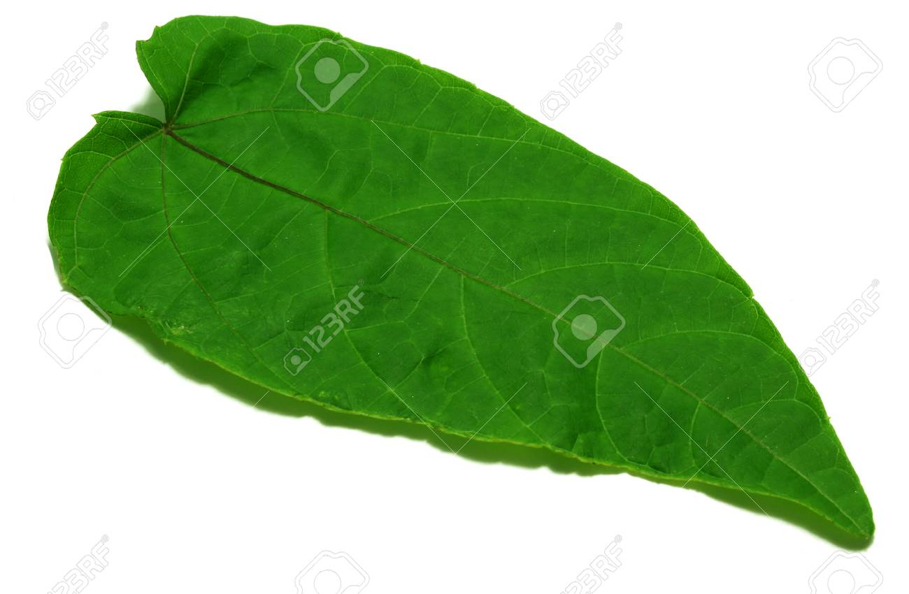Abroma Augusta Stock Photo Picture And Royalty Free Image Image