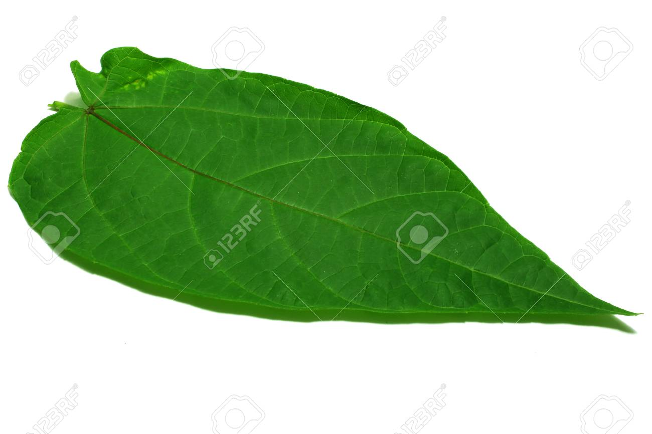 Herbal Abroma Augusta Stock Photo Picture And Royalty Free Image