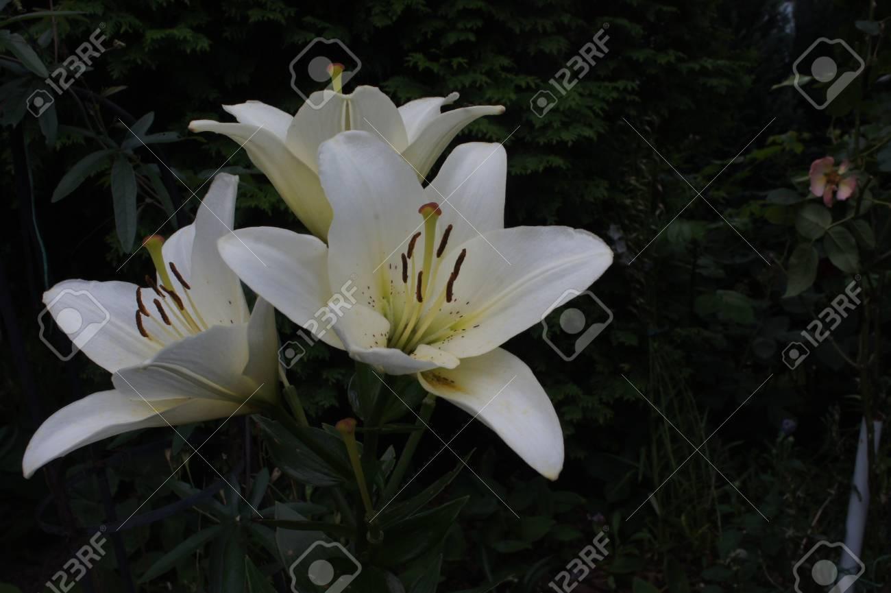 Lily white flower garden summer stock photo picture and royalty lily white flower garden summer stock photo 83363727 izmirmasajfo