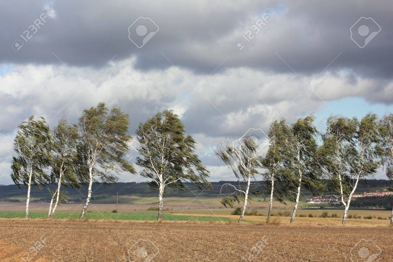 Birch trees at a country road in an autumn storm Stock Photo - 12119301