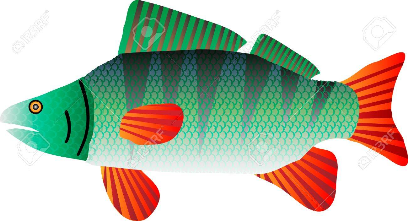 illustration of a perch isolated on white Stock Vector - 9935538