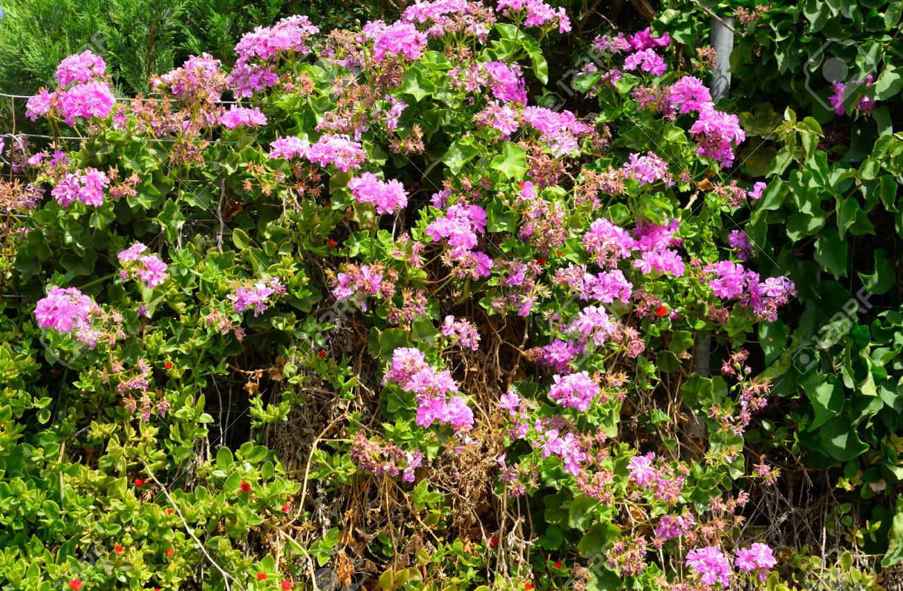 Bushes With Pink Flowers On Crete Island Greece Stock Photo