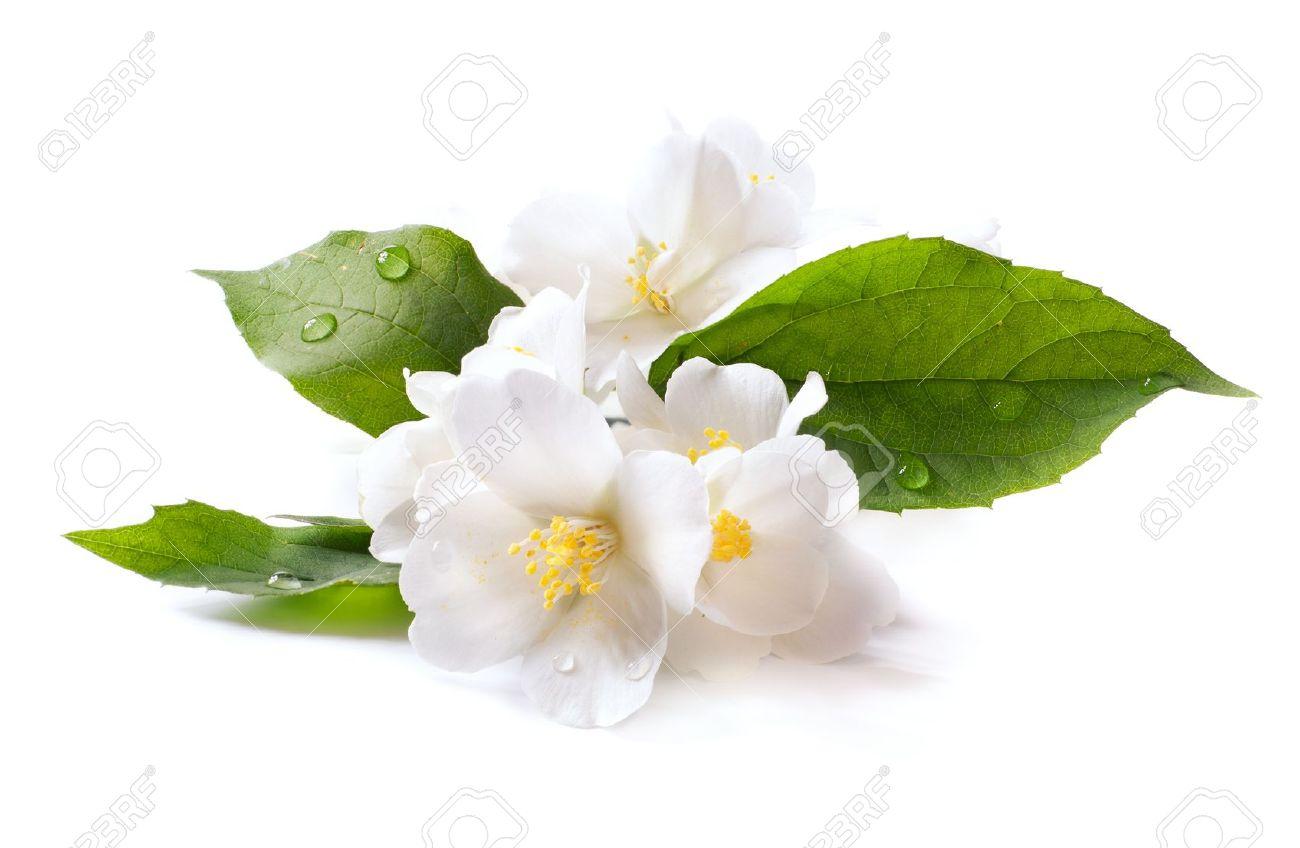 Jasmine white flower isolated on white background stock photo jasmine white flower isolated on white background stock photo 13748291 mightylinksfo