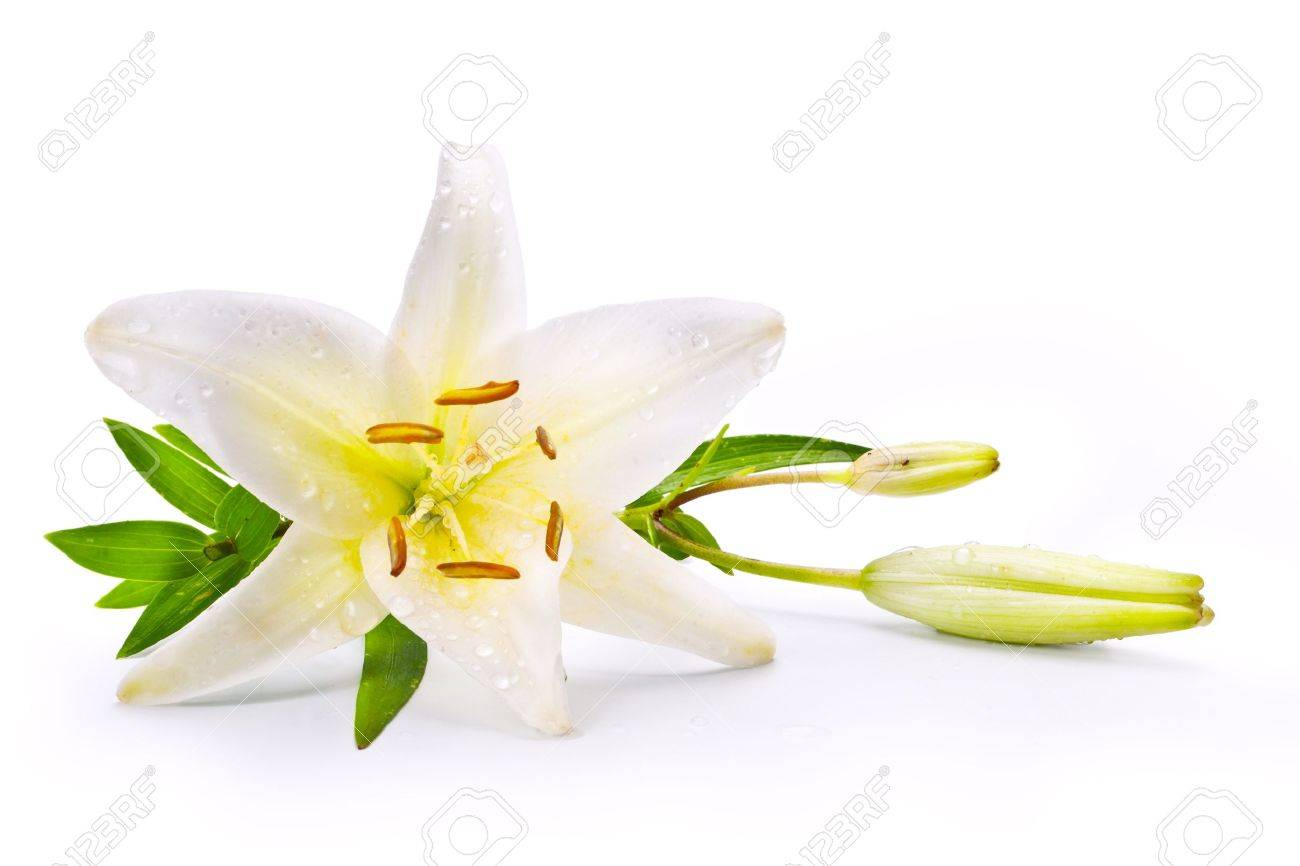 Easter lily flower isolated on white background stock photo picture easter lily flower isolated on white background stock photo 18430437 izmirmasajfo