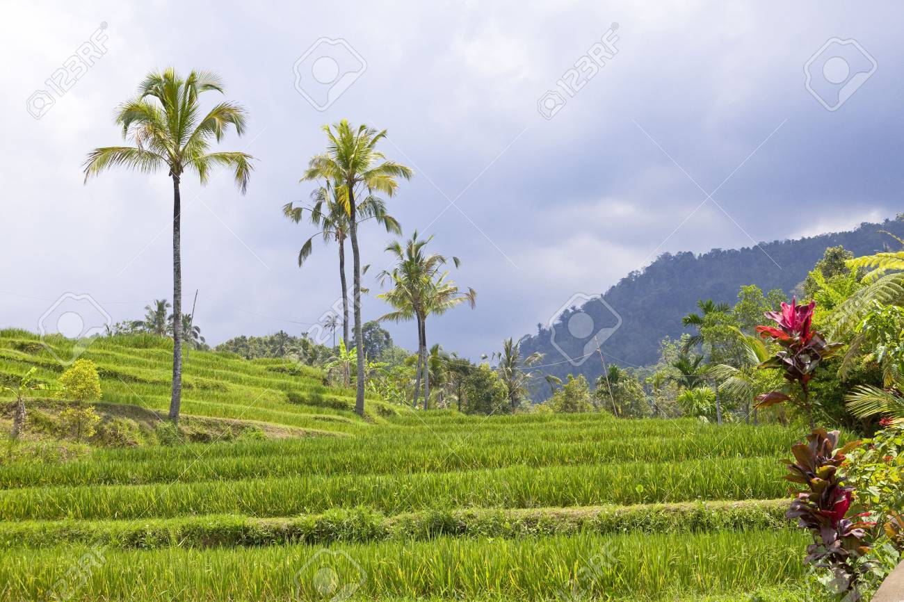 Kind on rice terraces, Bali, Indonesia Stock Photo - 6133840