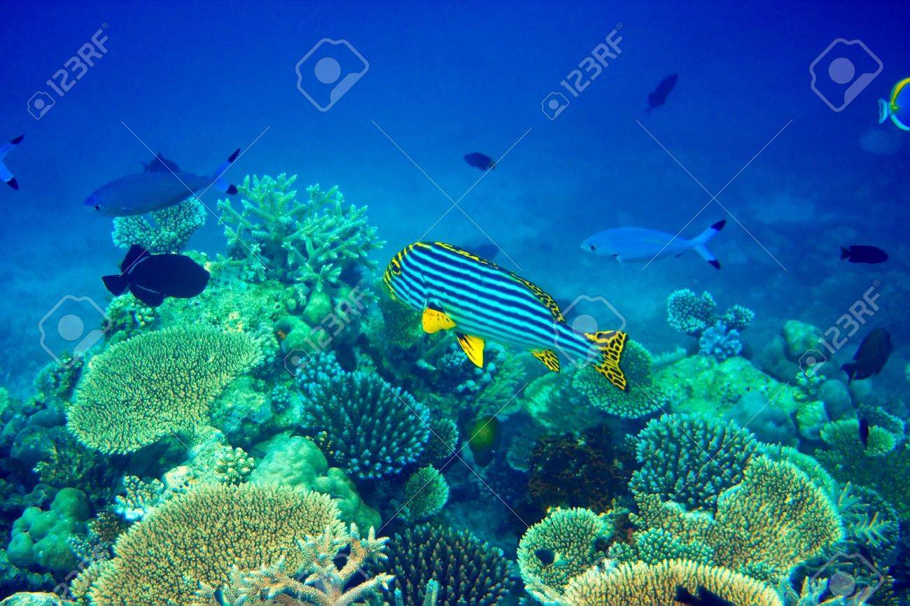 indian ocean fishes in corals maldives stock photo picture and