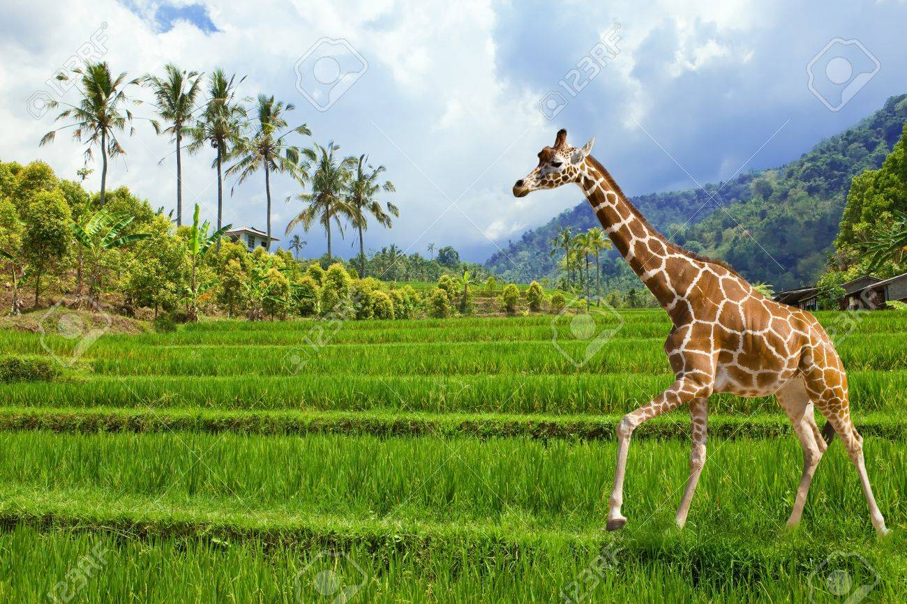 The giraffe goes on a green grass against mountains Stock Photo - 8992068