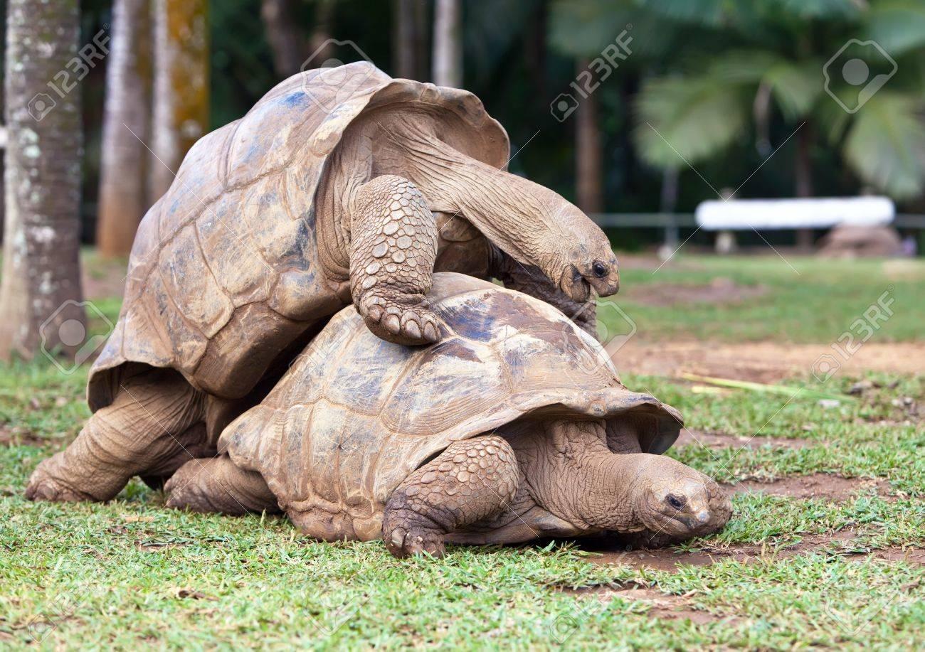Big Seychelles turtle in La Vanille Reserve park. Mauritius. Stock Photo - 13516270