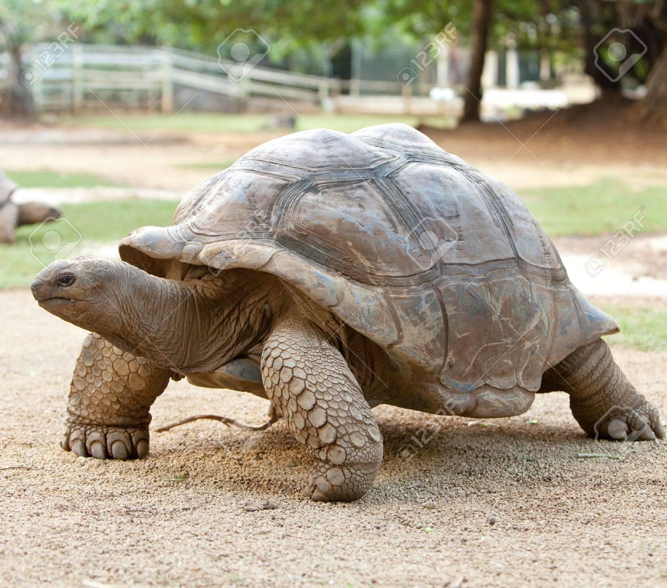 Large turtle Stock Photo - 13718101