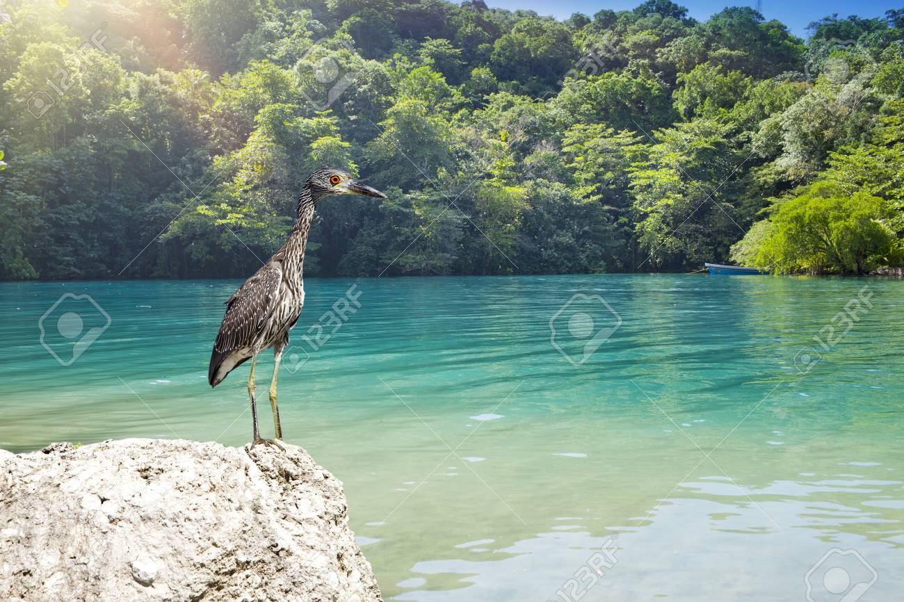 Gray Heron On Stones On Background Of The Blue Lagoon Jamaica