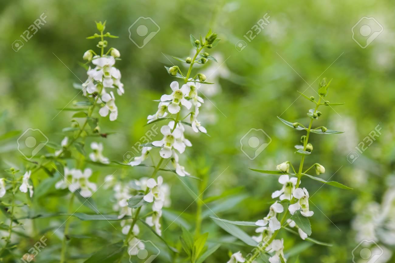 White Salvia Sage Flower Bloom In Garden Soft Focus Stock Photo