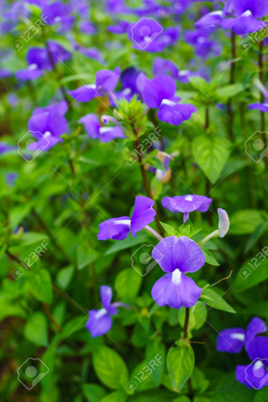 Brazilina Snapdragon Blue Hawaii Flower In The Garden Stock Photo