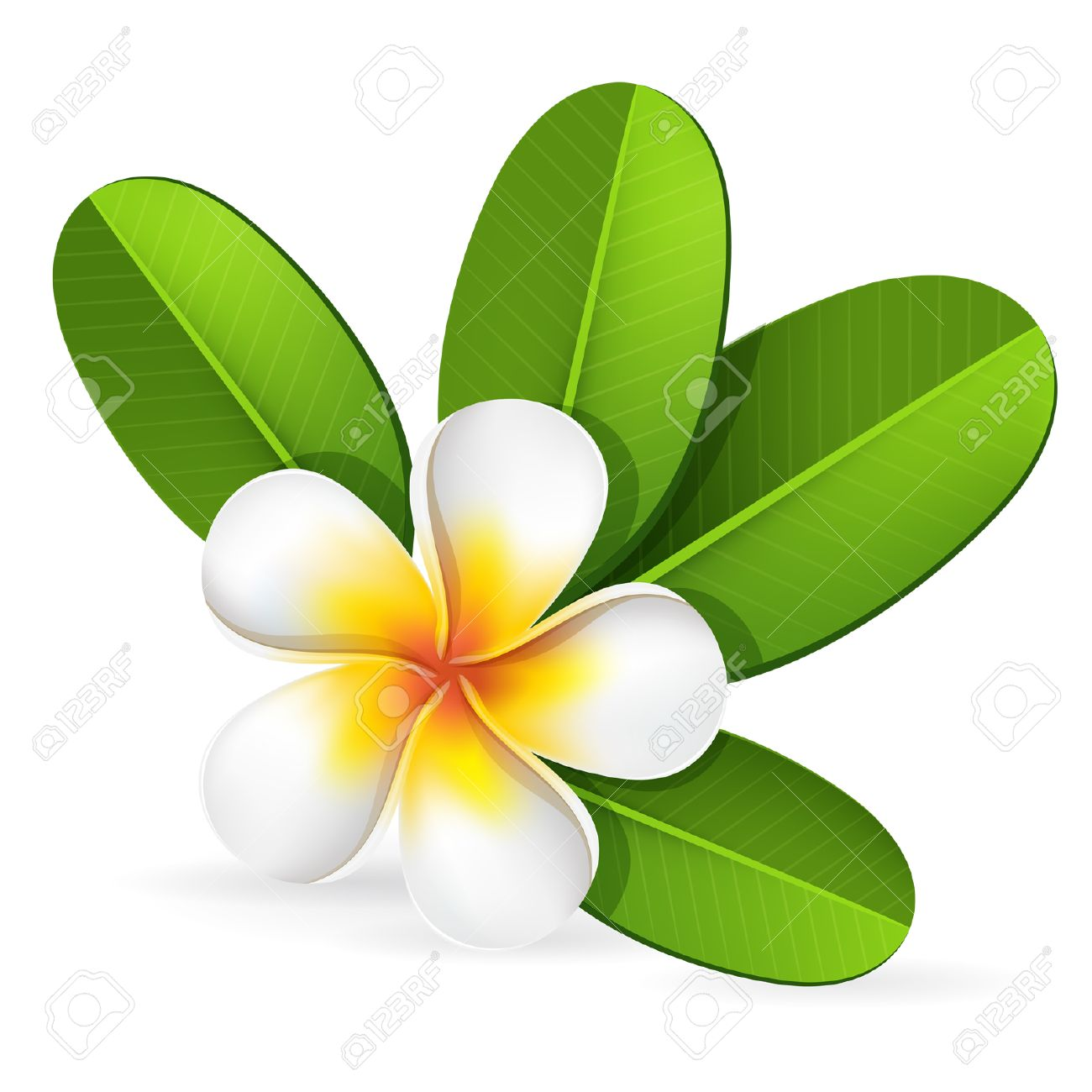 Summer Spa Frangipani, Plumeria Tropical Flower With Green Leaves ...