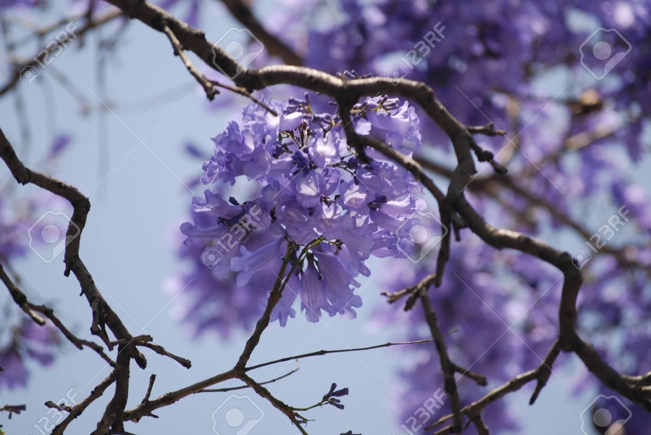 Jacaranda Tree Purple Flowers Against Blue Sky Close Up With