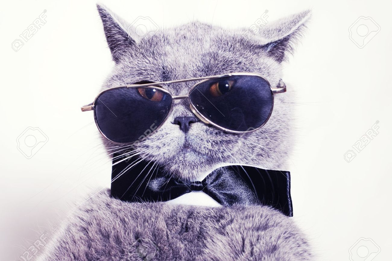 banque dimages portrait de lunettes de soleil british shorthair chat gris et une cravate portant noeud papillon