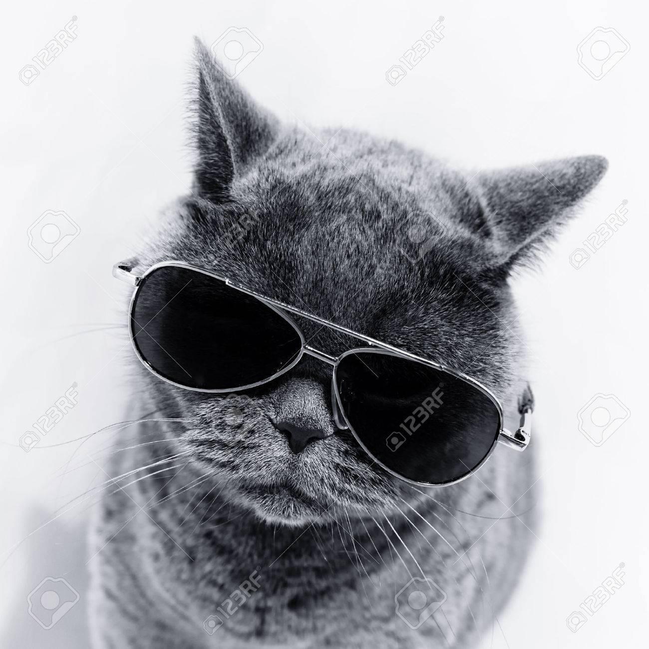 Portrait of British shorthair gray cat wearing sunglasses - 50611717