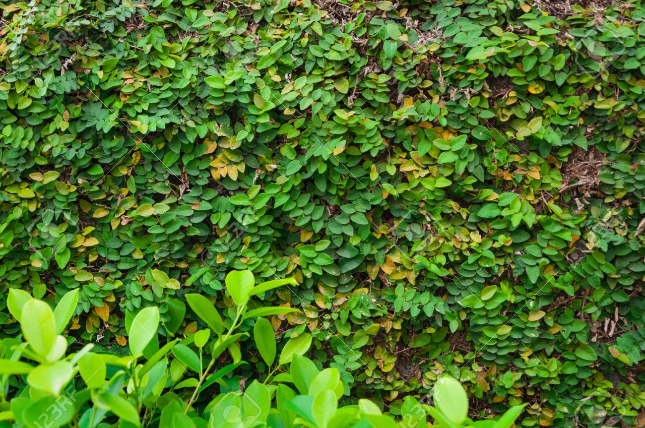 Green Leaf Background As Ornamental Climbing Plants On Fence Stock