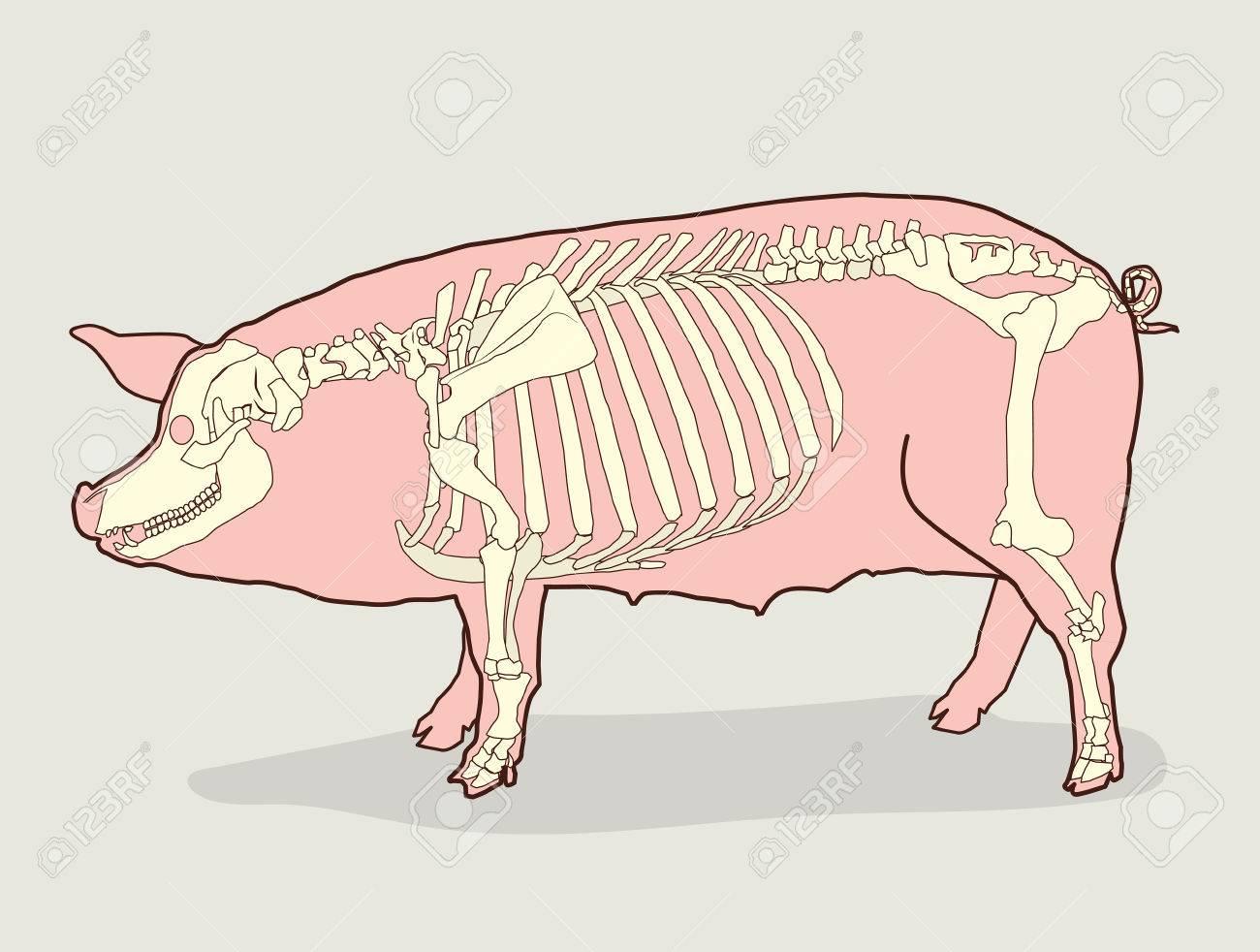 Esqueleto Del Cerdo. Ilustración Vectorial. Diagrama Del Esqueleto ...