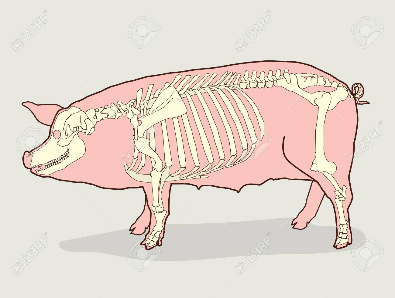 pig skeleton  vector illustration  pig skeleton diagram  pig skeleton for  sale  pig