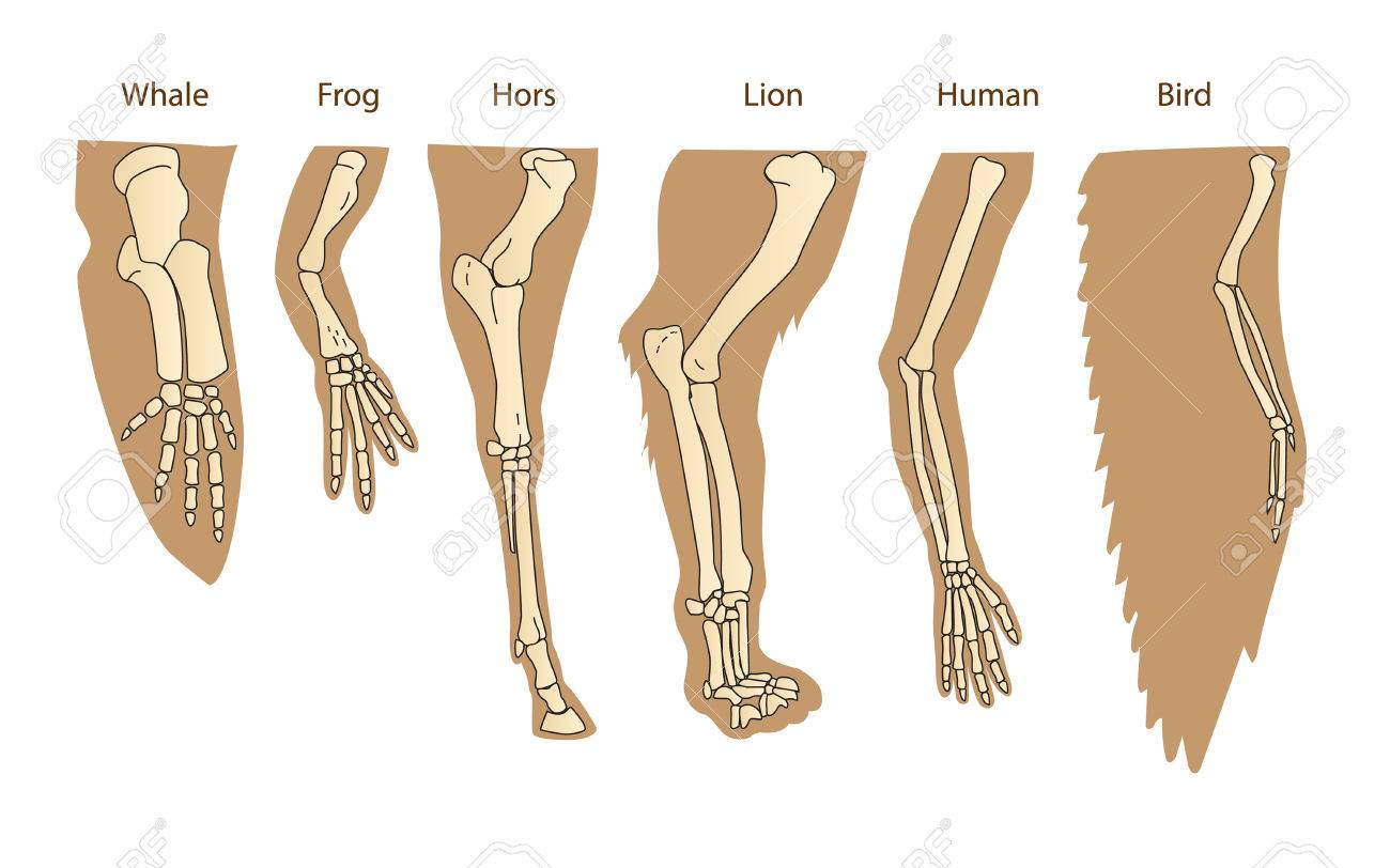 Structure Forelimb Of Mammals. Human Arm. Lion Forelimb. Whale ...